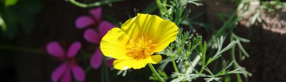 Butterblume gelb, Blume Beinhardt, Uhr Fachhandel